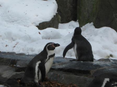 Любознательные пингвины