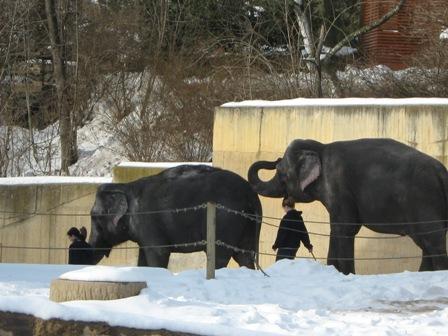 Слонов ведут на прогулку