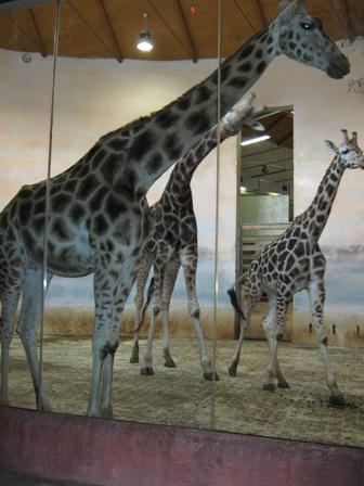 Стадо жирафов