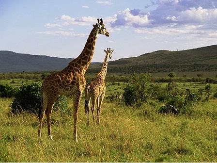 Кения. Национальный парк Масаи-Мара